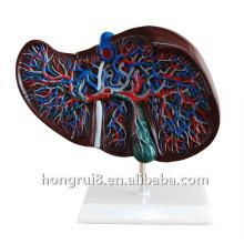 Модель медицинской анатомической печени человека