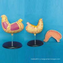 Медицинская анатомия Модель человеческого тела для обучения (R100203)