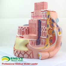 HEART19 (12494) Skelettmuskelfasern Anatomisches medizinisches Lehrmodell