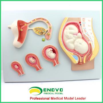 ANATOMY15 (12453) Modelo de proceso de desarrollo embrionario, desarrollo del huevo no fertilizado al noveno mes