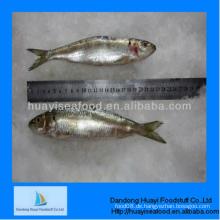 Gefrorener perfekter Sardine Exporteur für beste Qualität
