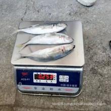 seafrozen horse mackerel Chinese ba lang fish, china south sea fish