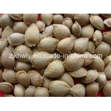 Amêndoa doce em Shell (youyi 15-17mm)