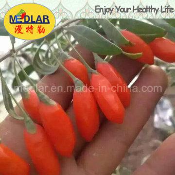 Níspero Orgánico Goji Chino Wolfberry