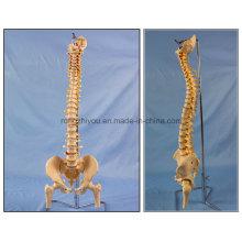 Modelo clássico de esqueleto de espinha flexível com cabeça de fêmur