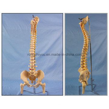 Классическая гибкая модель скелета спины с головками Femur