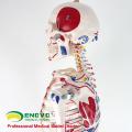 SKELETON08 (12369) squelette médical de taille de la vie de nature médicale de la vie 170CM avec des muscles et des ligaments, modèle de squelette de 170cm