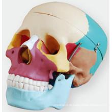 Schädel mit farbigen Knochen Weichegnya