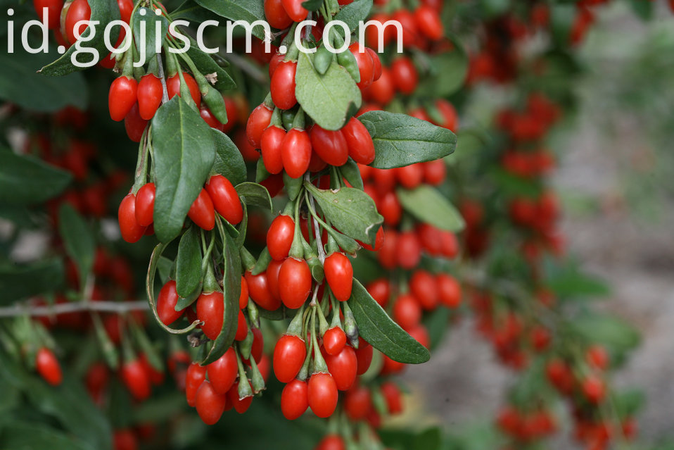 Organic Certificated Goji leaves