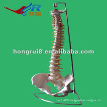 ISO Human Spine Skeleton Model, Life-Size Vertebral Column with Pelvis