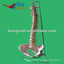 Модель скелета позвоночника ISO, позвоночная колонка в натуральную величину с тазом