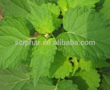Sciphar Supply 100% Natural Herba Pogostemonis Extract