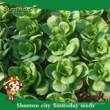 Suntoday heat tolerant Cabbage Chinese Chard Asian vegetable F1 Organic cabbage seeds planter breeder(37001)