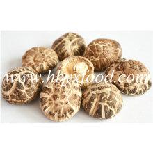 5-5,5 centímetros de espessura de carne seca chá de flores Shiitake cogumelo