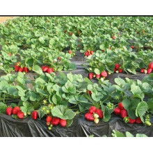 Black Film for Plant Strawberry 1.2m*10m to Exported Europe Market