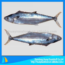 new season Japanese spanish mackerel