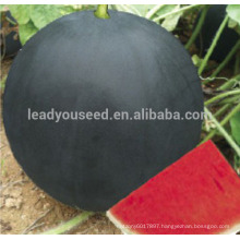 W02 Heima mid-late maturity dark green seedless watermelon seeds for planting