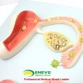 Модель ANATOMY15(12453) Эмбриональный процесс развития, развитие из Неоплодотворенной яйцеклетки до 9 месяцев