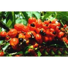 Approvisionnement d'usine directement 100% d'extrait naturel de guarana