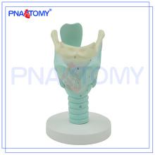 PNT-0442 Anatomie markiertes Modell des menschlichen Kehlkopfes, Modell des anatomischen Kehlkopfes