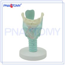 PNT-0442 Anatomy Marked Human Larynx Model, Anatomical Larynx model