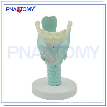 PNT-0442 Anatomy Marked Human Larynx Model, Anatomical Larynx model