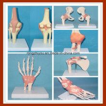 Modelos de função articular humana com ligamentos (mão, pé, quadril, joelho, cotovelo, ombro)