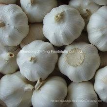 Chinese Fresh Garlic in Bottom Price