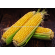 NCO01 Shengchi Hybrid sweet corn seeds china vegetable seeds producer