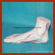 Menschliches normales Fußanatomisches Modell für medizinisches Lernen