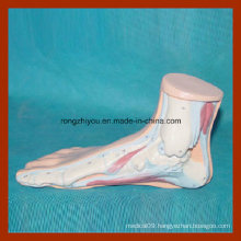 Human Normal Foot Anatomical Model for Medical Learning
