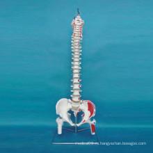 Модель скелетных костей человека для медицинского обучения (R020712)