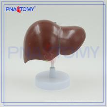 Modèle de foie humain anatomique de taille de la vie PNT-0469 pour l'hôpital