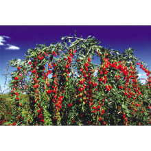 2018 NEW CERTIFIED CHINESE GOJI BERRY