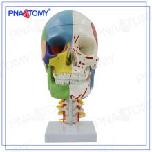 PNT-0155 modelo de cráneo de tamaño natural con nervios y recipiente