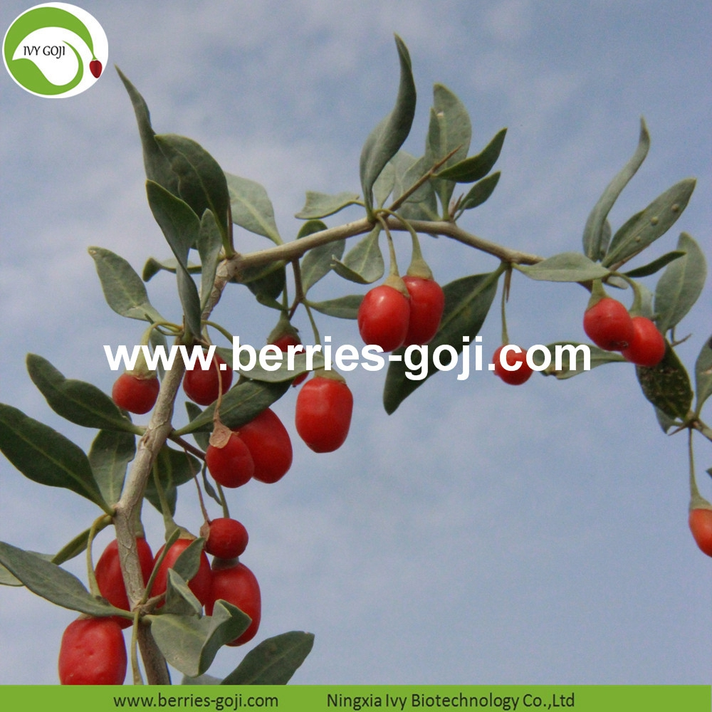 Organic Certificated Wolfberry