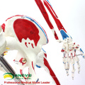 SKELETON03 (12363) Medical Science Life Size Professional Medical Skeleton with Muscles and Ligaments, 170cm Skeleton Model