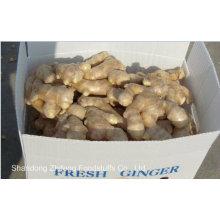 Chinois exportant le gingembre de grande taille en 2015 avec la qualité