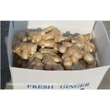 Chinese Exporting Big Size Ginger in 2015 with High Quality