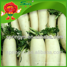 Mejor precio de rábano fresco, rábano chino orgánico