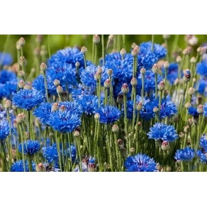 Chinese Attractive Cornflower Sale