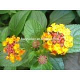 Sale lantana Flower seeds Lantana camara Seeds Fragrant Flowers for growing