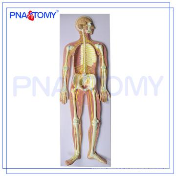 PNT-0439 Modelo de sistema nervioso humano anatómico médico avanzado