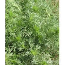 Hot Sale 100% Natural Oriental Wormwood