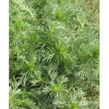 Venda quente 100% Natural Absinto Oriental