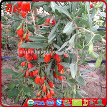 Goji berries sale wolfberry health benefits goji berry capsulas