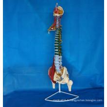 Modèle de squelette de la colonne vertébrale humaine et marquée pour l'enseignement médical (R020706)