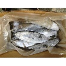IQF Big Size Gefrorener Bonito Fisch