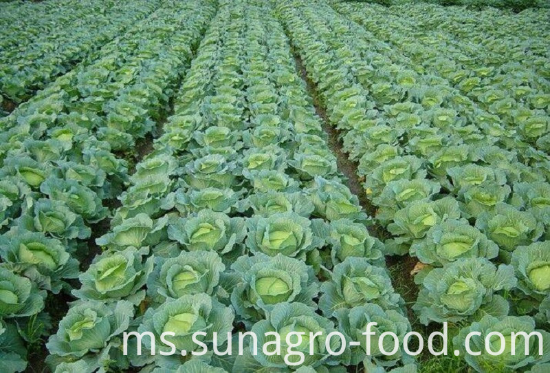 Fresh And Delicious Cabbage
