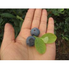 Individual Quick Freezing Organic Blueberry Zl-1068
